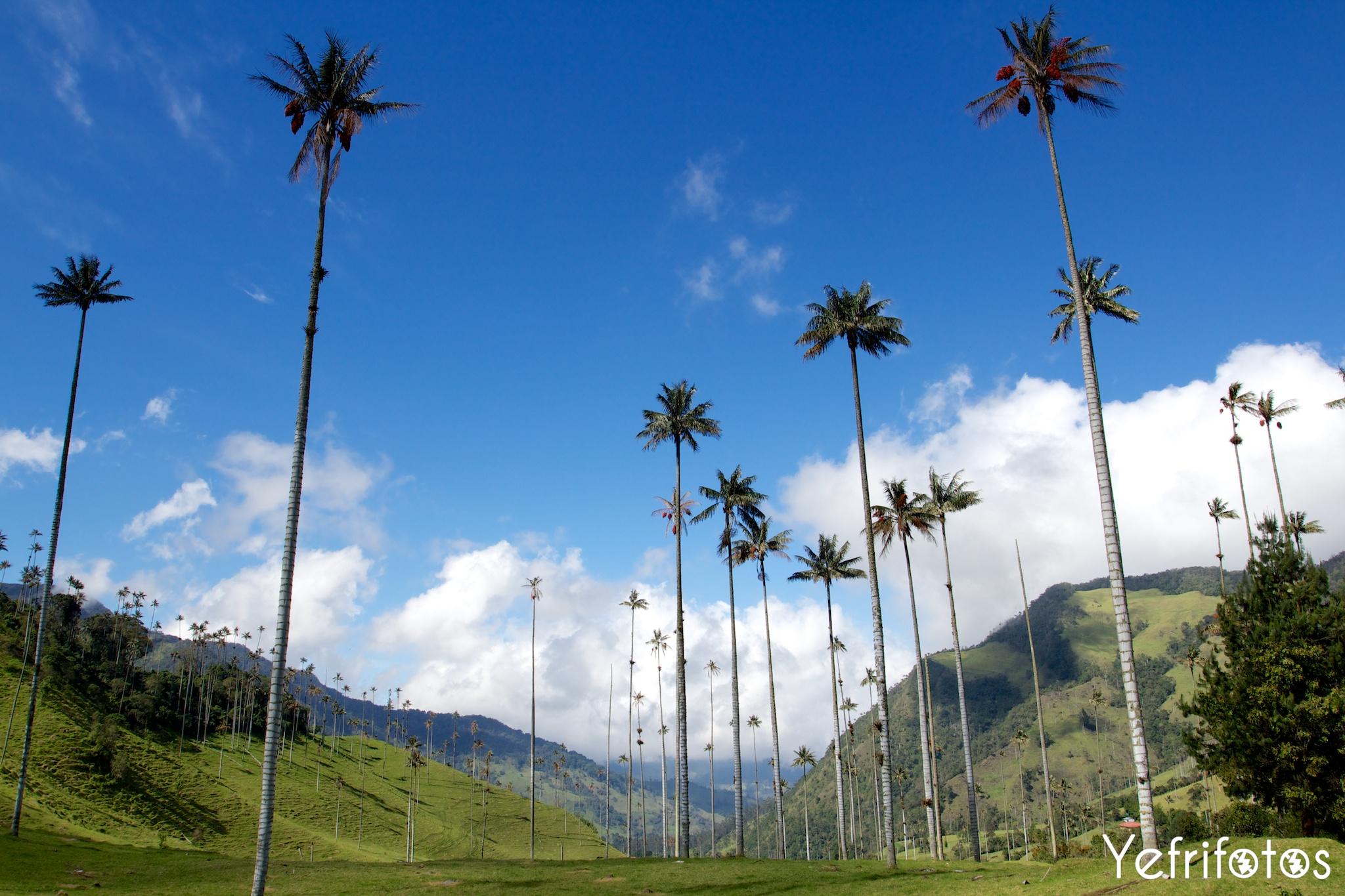 Palmiers de cire - Valle del Cocora - Colombie