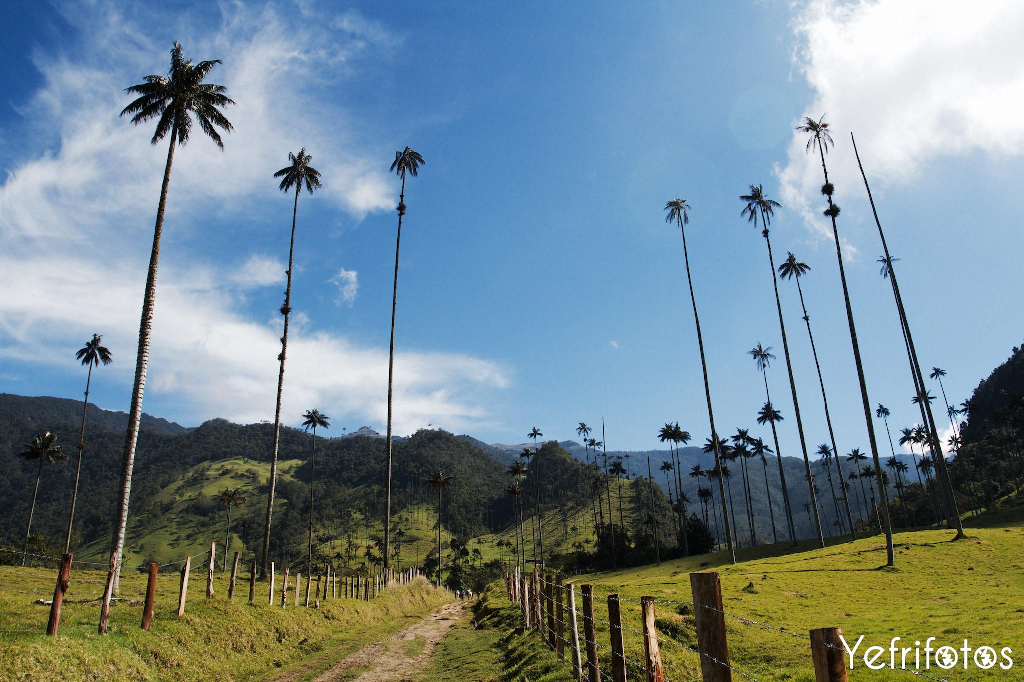 Colombie - Valle del Cocora - Palmiers de Cire